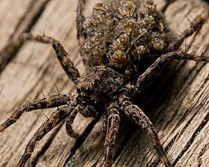 Wolf Spider Caries her Babies on Back